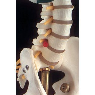 Flexible Mr. Thrifty Skeleton with Spinal Nerves & Stand: Industrial & Scientific