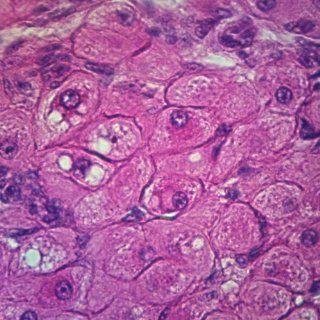 Mammal Corpus Luteum, sec. 7 m H&E, Microscope Slide: Industrial & Scientific