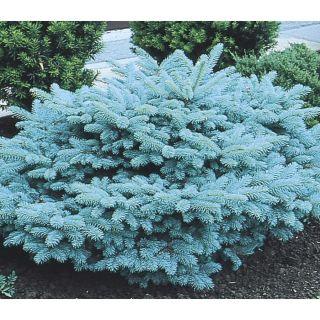 5.98 Gallon Blue Globosa Spruce Feature Tree (L4100)