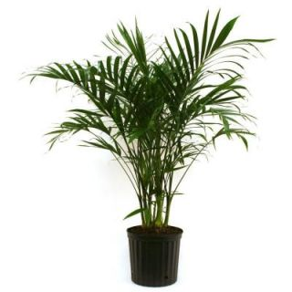 Delray Plants Cateracterum Palm in 9 1/4 in. Pot 10CAT